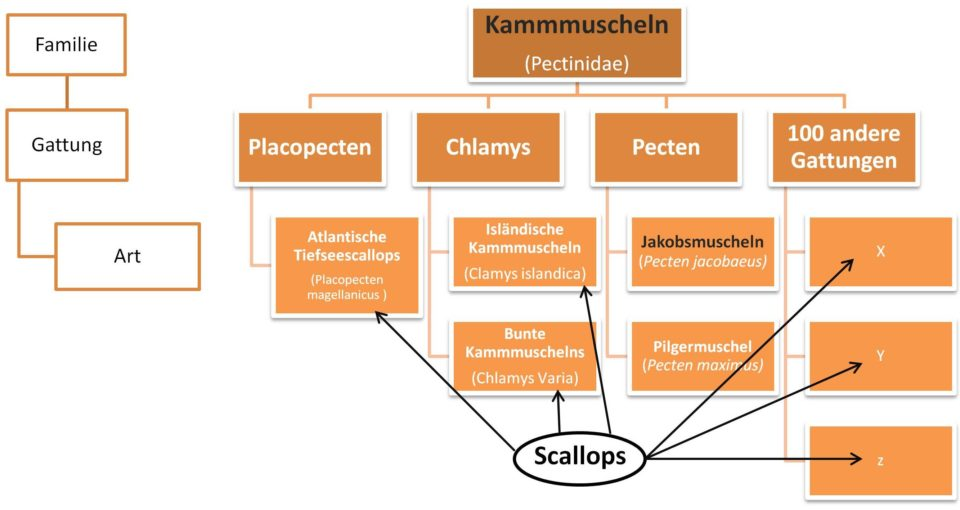 Biosystematik der Jakobsmuscheln, Kammmuscheln und Scallops